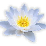 White lotus flower with yellow center